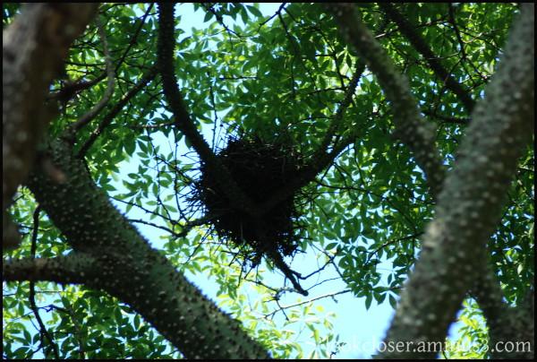 birdnest kapok-tree thorns home FL