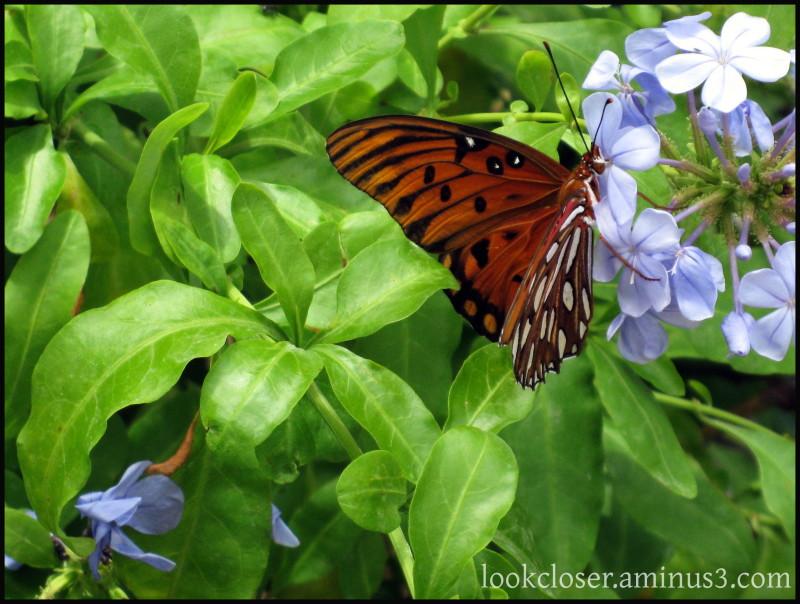 FL Gulf-frittilary butterfly home