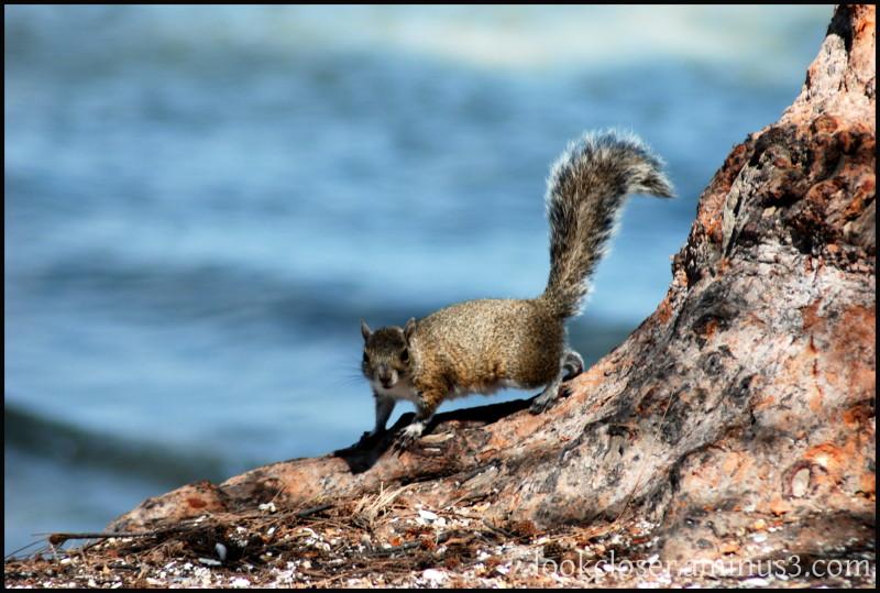 Longboat-Key squirrel beach solidarity