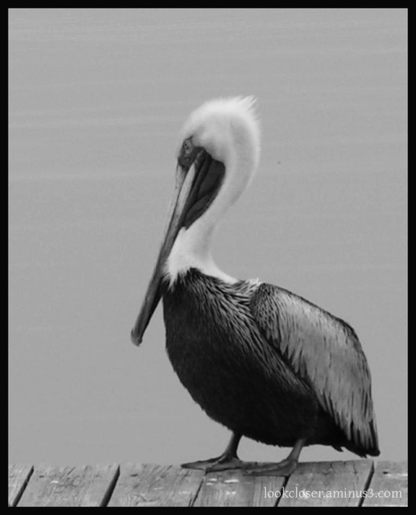 BW Brown-Pelicans