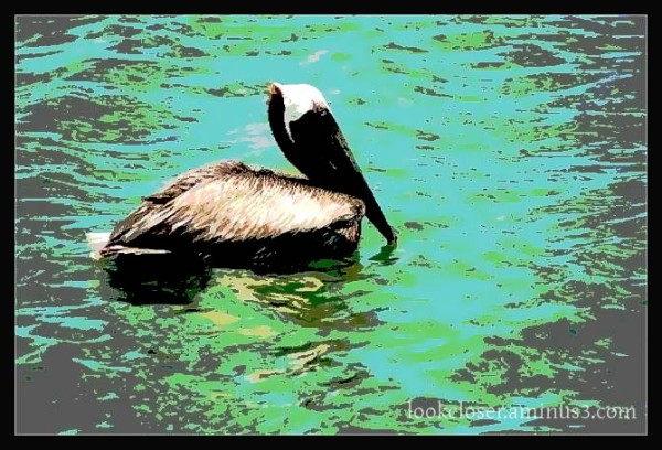 Posterized brown-pelican FL