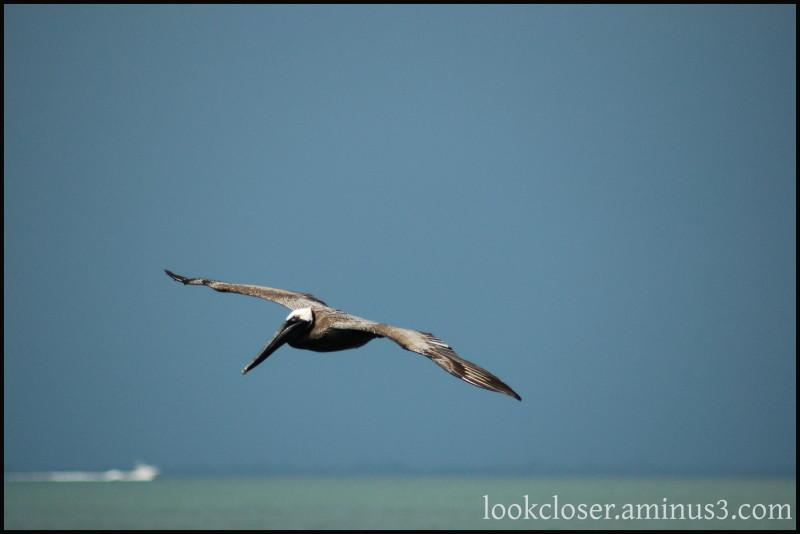 Fl solidarity pelicans