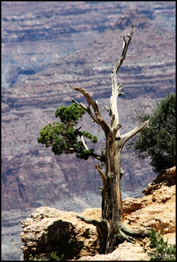 GrandCanyon AZ tree perseverance