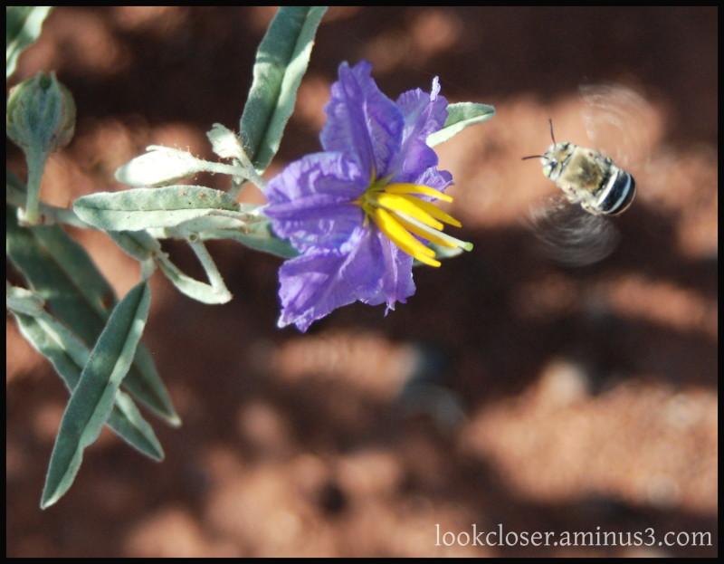Sedona AZ flower bee