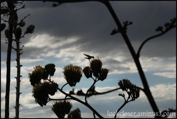 Hummingbird Tuzigoot AZ dusk