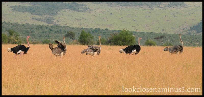 ostriches kenya lake-nakuru