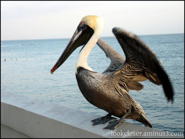 pelican pier StPetersburg FL