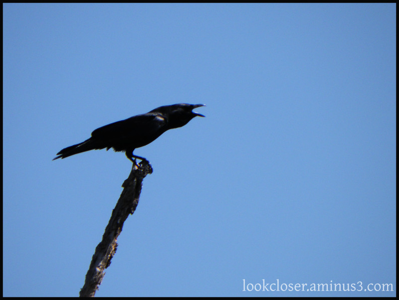 laughing crow Cedarkey FL wetlands blue sky