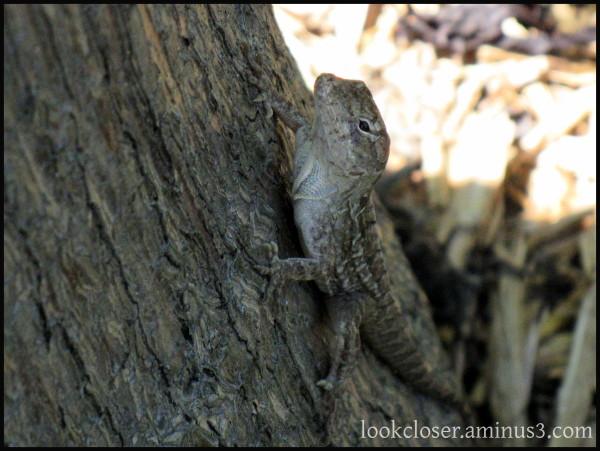anole lizard brown