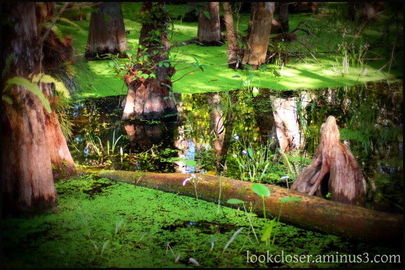 everglades lomo swamp cypress knee green
