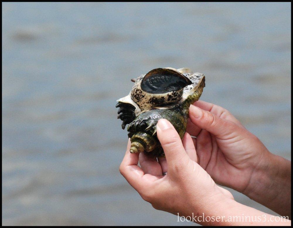 seasnail whelk alive shell hands water FL