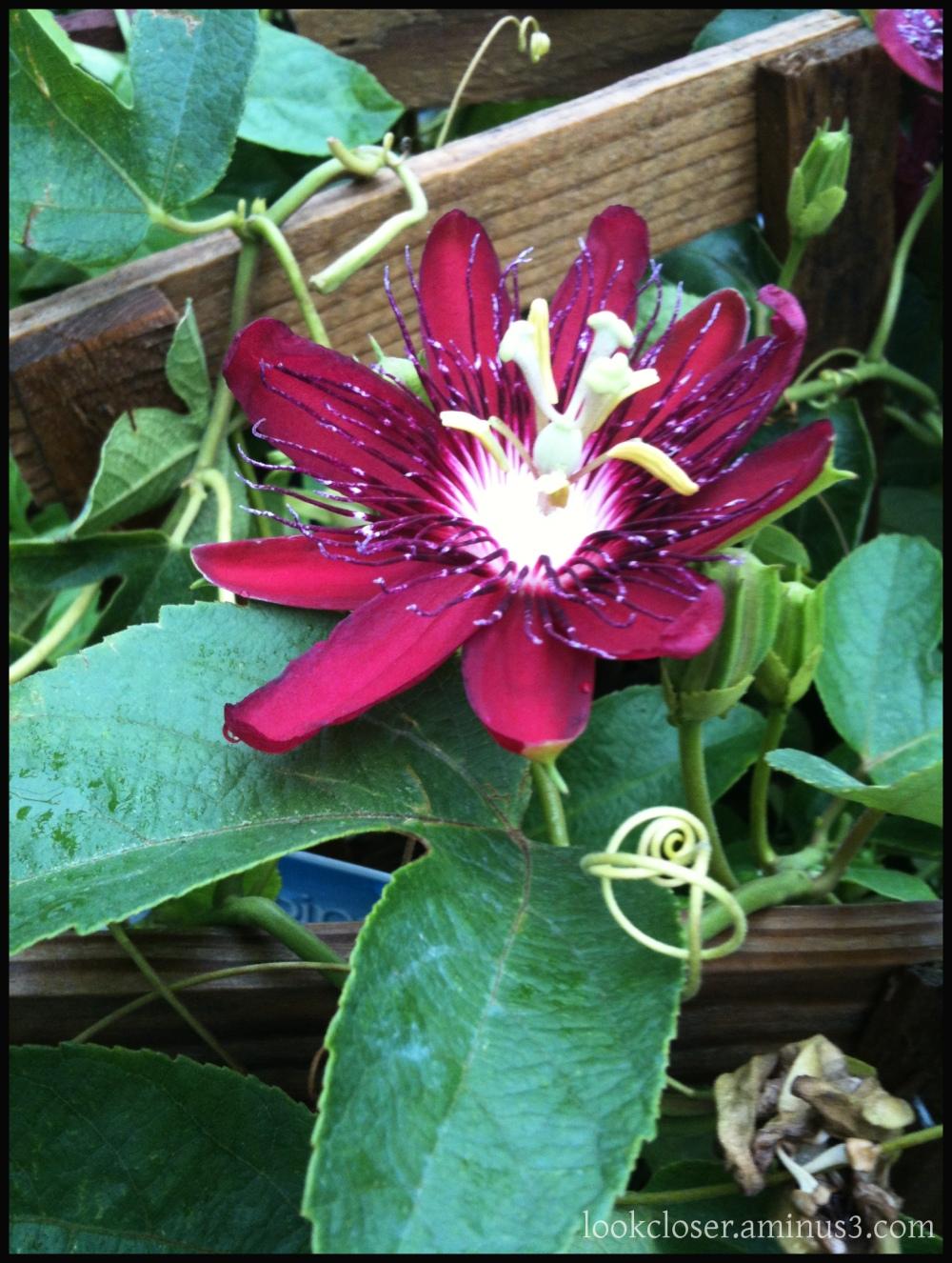 red passion vine flower
