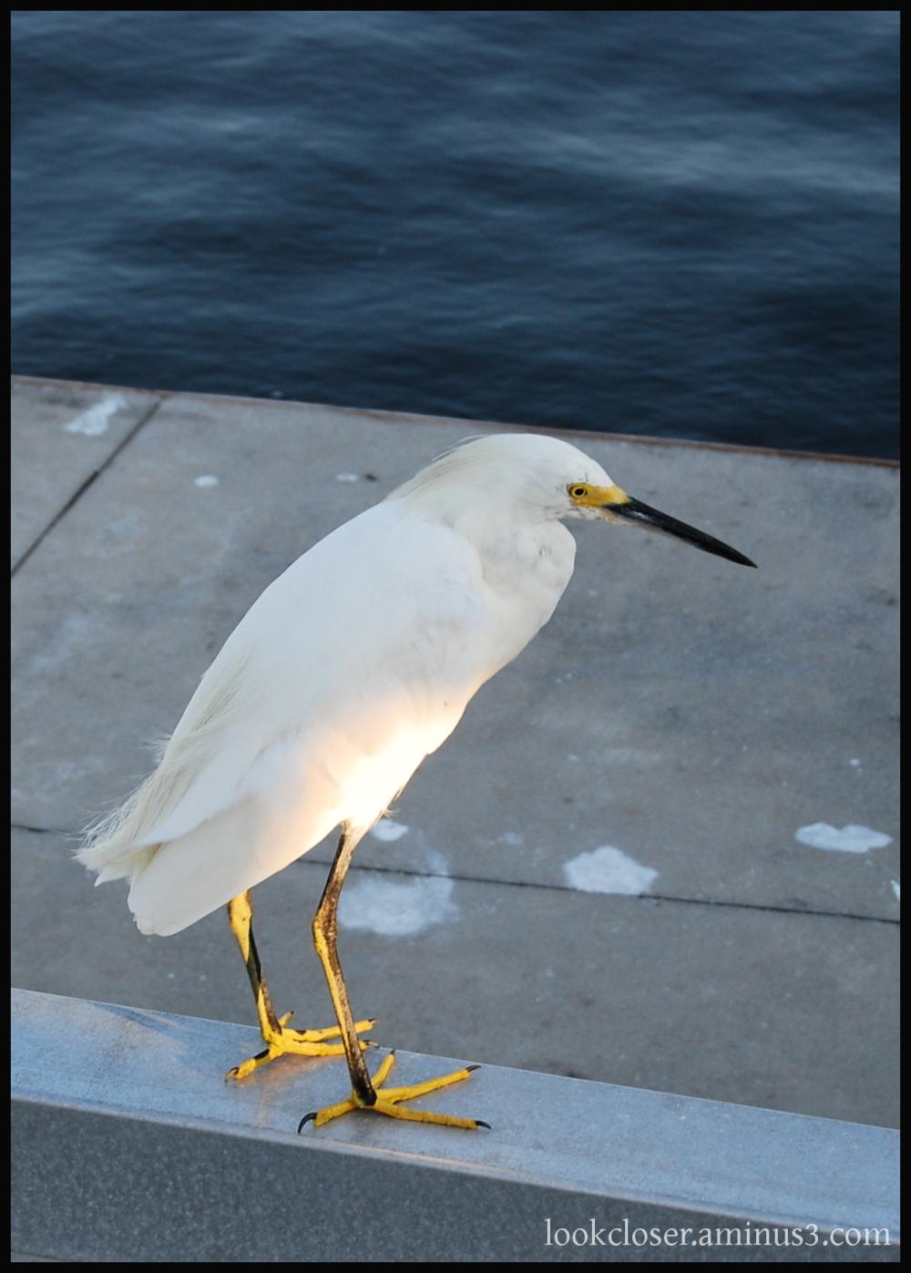 white egret FL bird blue water