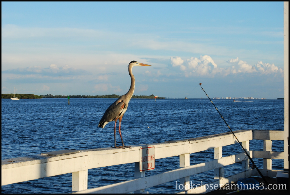 heron fishing fl patience