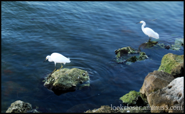 snowy egrets fishing