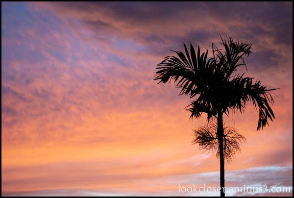 sunset single palm