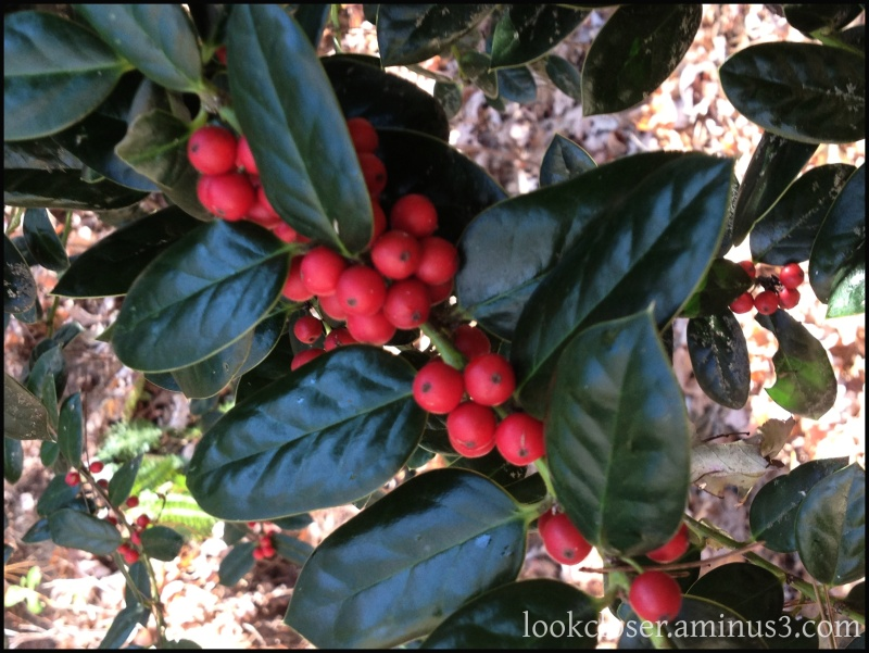 Red holly