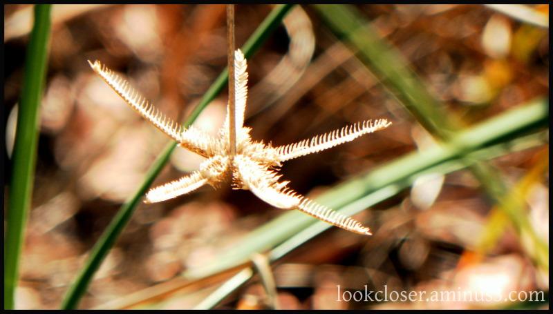 star plant beach flower