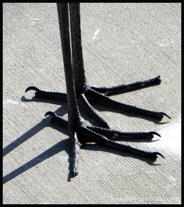 heron feet