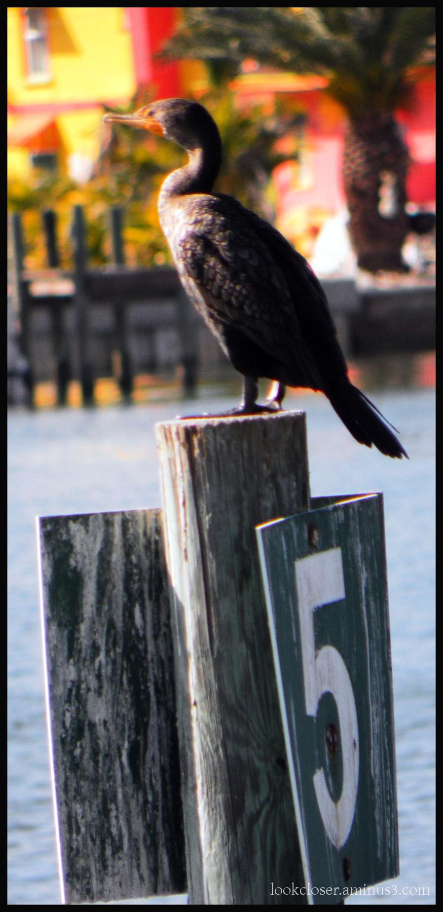 cormorant post 5