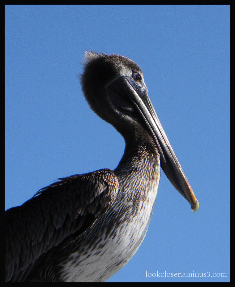 young brown pelican blue sky