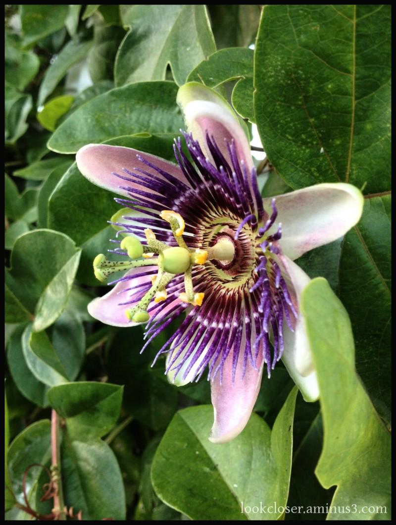 purple passion vine flower