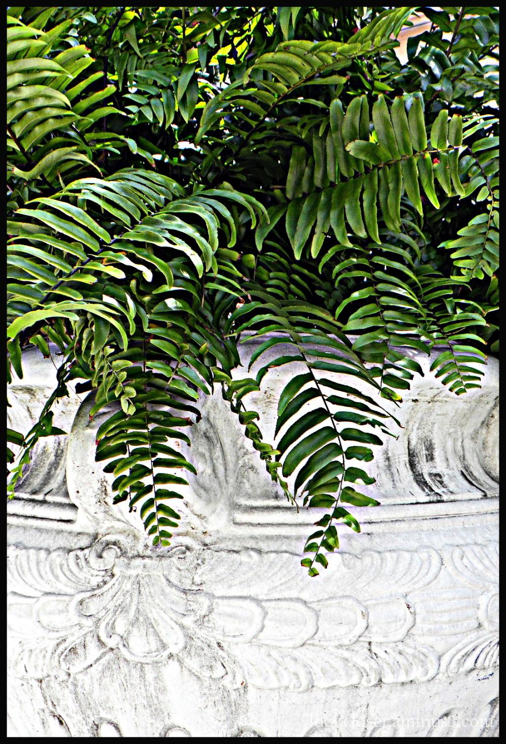 green fern white pot