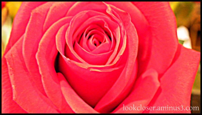 rose hdr