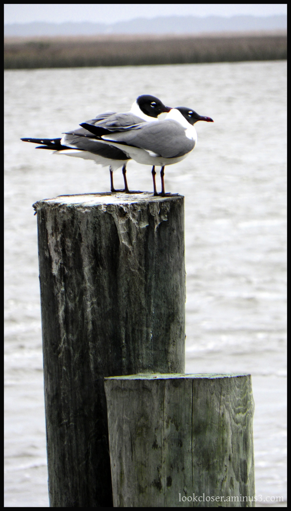 gull pair post apalachicola FL
