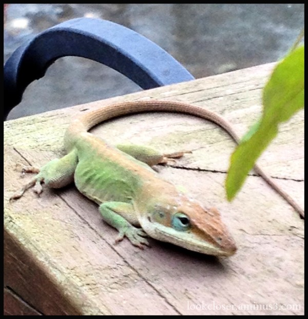anole lizard brown green change