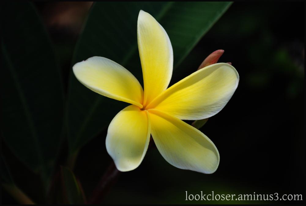 yellow plumeria home fl