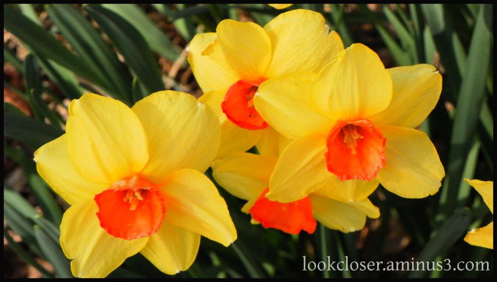 yellow daffodils atlanta