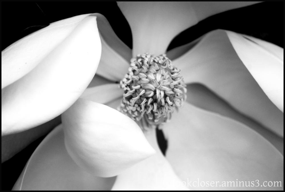 magnolia blossom home bw