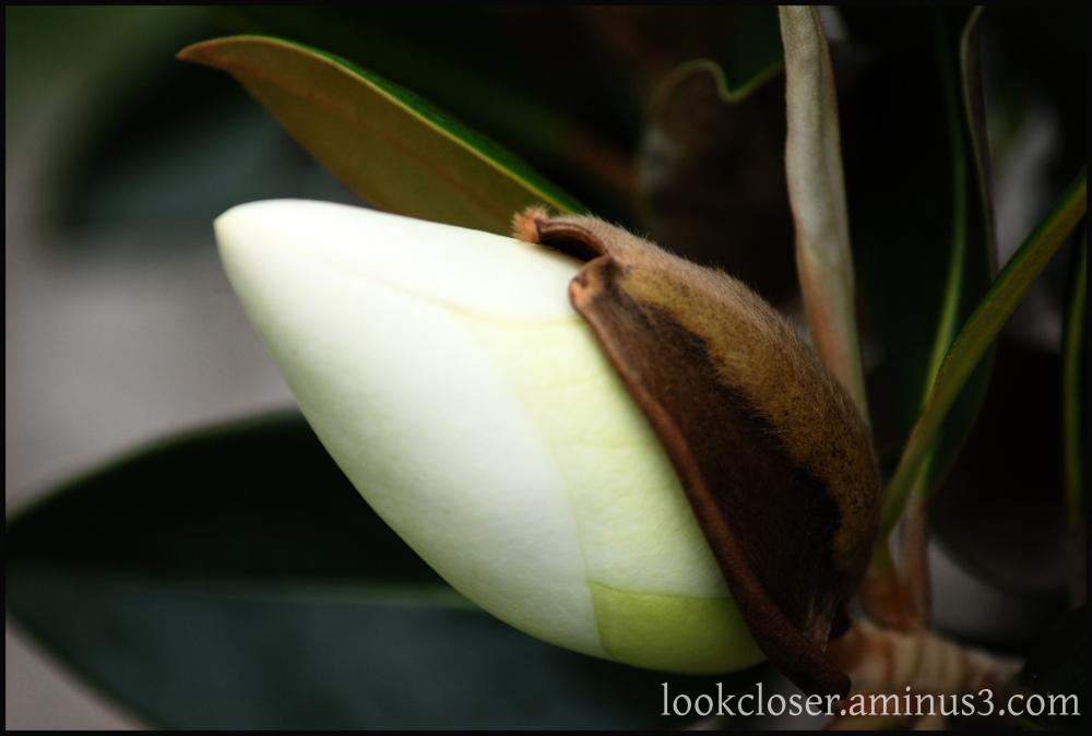 future magnolia blossom bud home