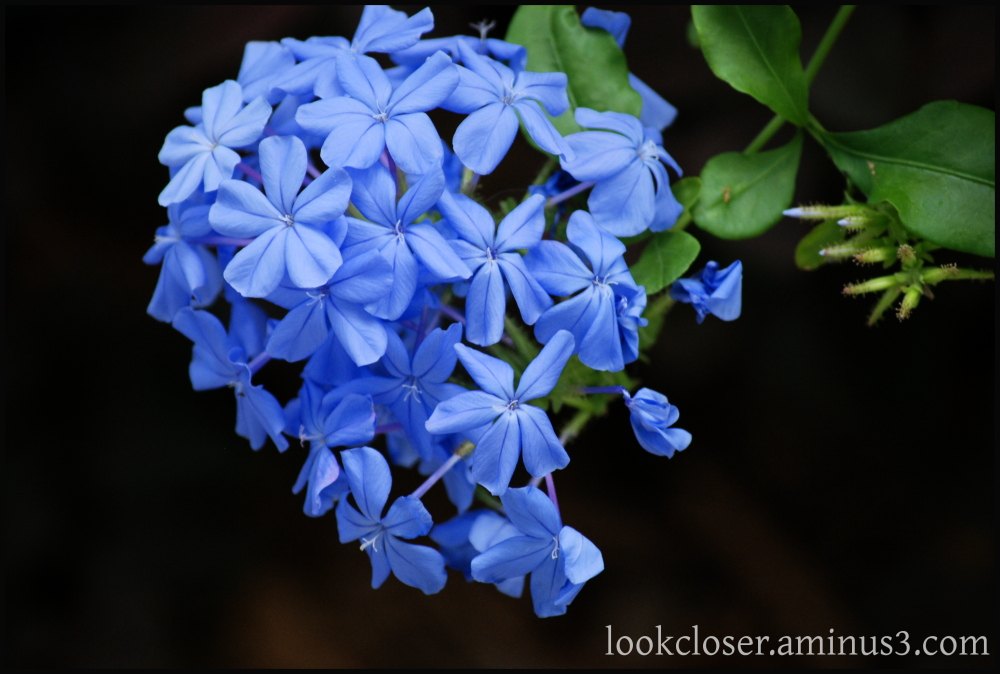 blue plumbago flower home