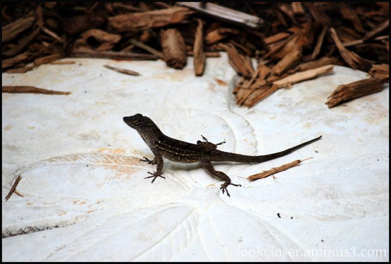 bold cuban anole hybrid lizard home