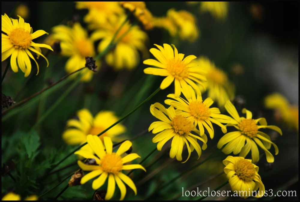 yellow flower bush daisy home