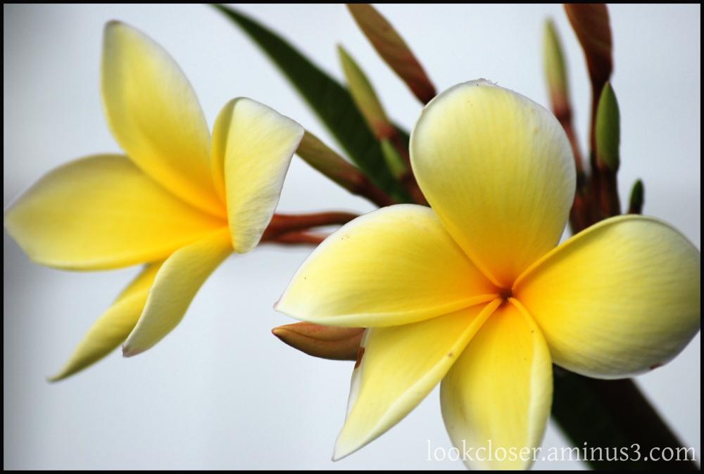 yellow flower frangipani plumeria home