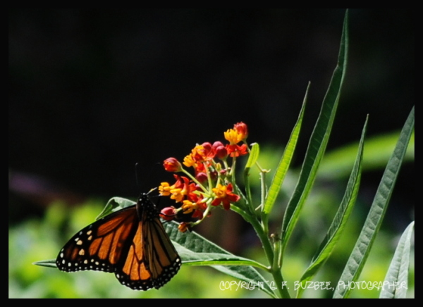 orange black monarch butterfly