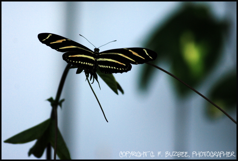 butterfly zebra longwing striped