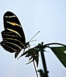 zebra longwing butterfly profile