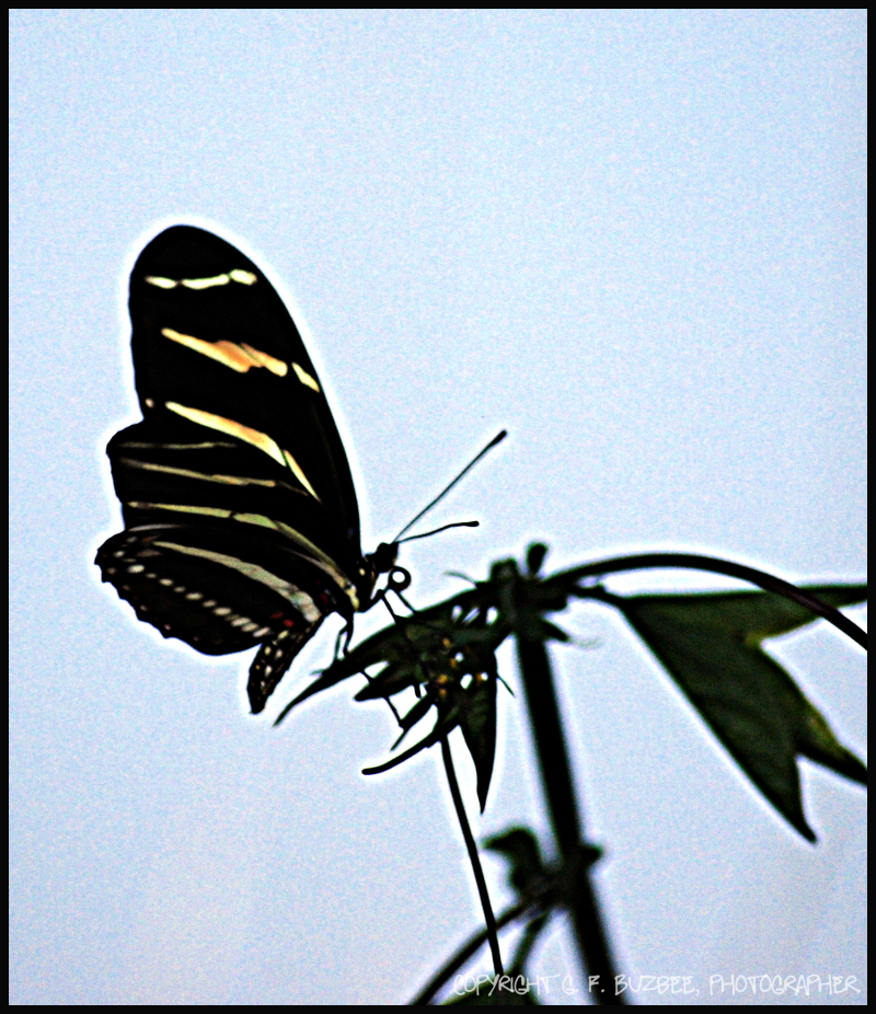 zebra longwing butterfly profile