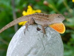 bold anole lizard