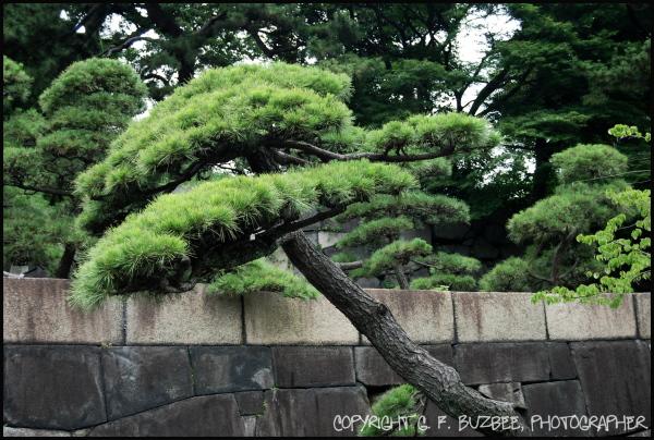 stone wall pine tree palace tokyo japan