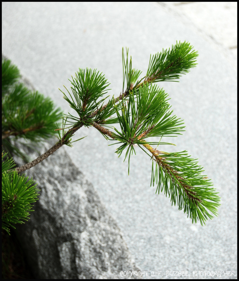 green pine branch growth japan