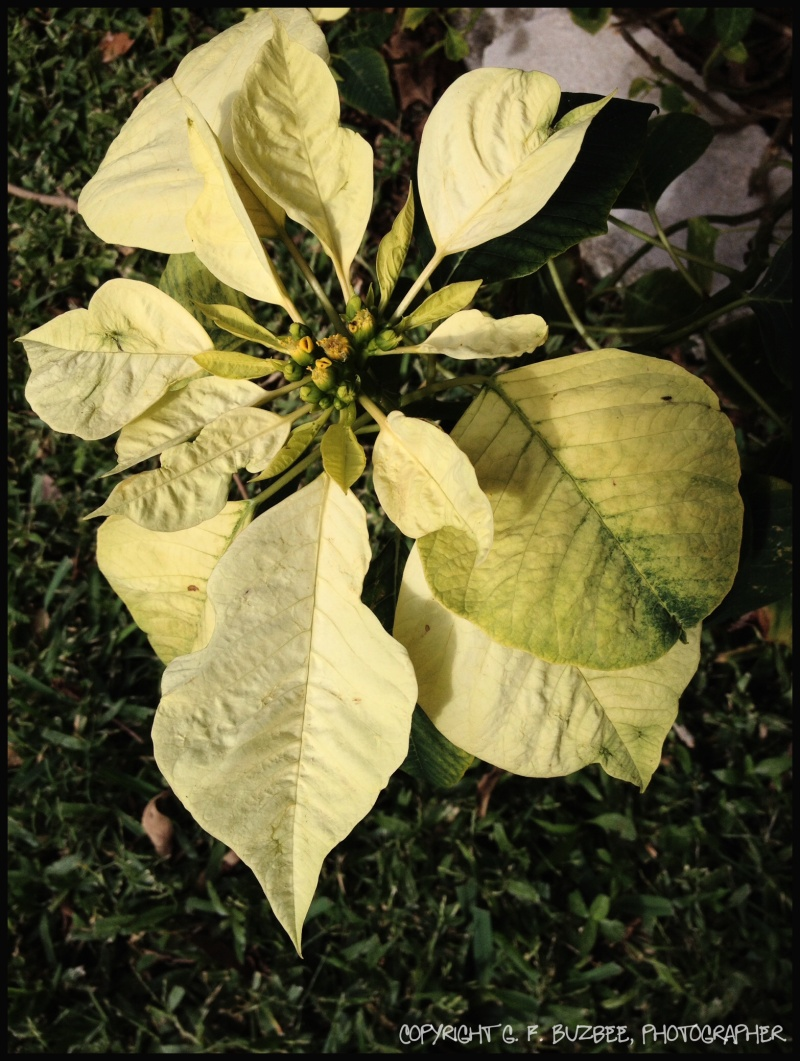 Poinsettia flower white