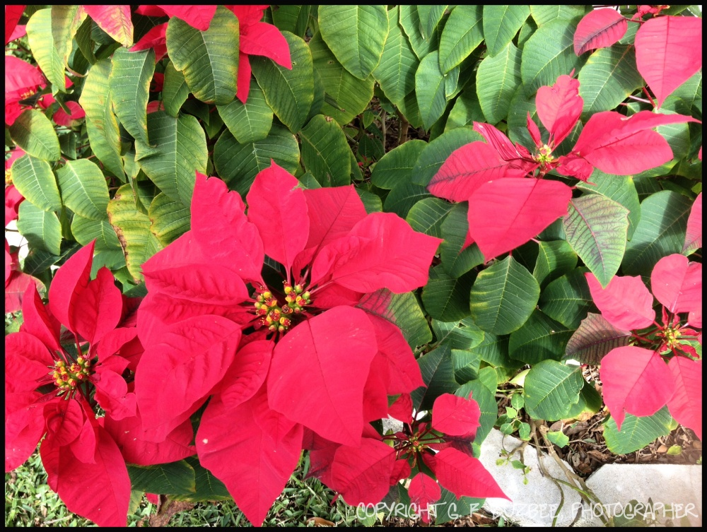 Red poinsettias home