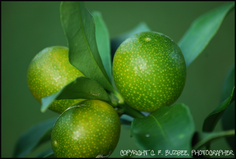 green kumquats
