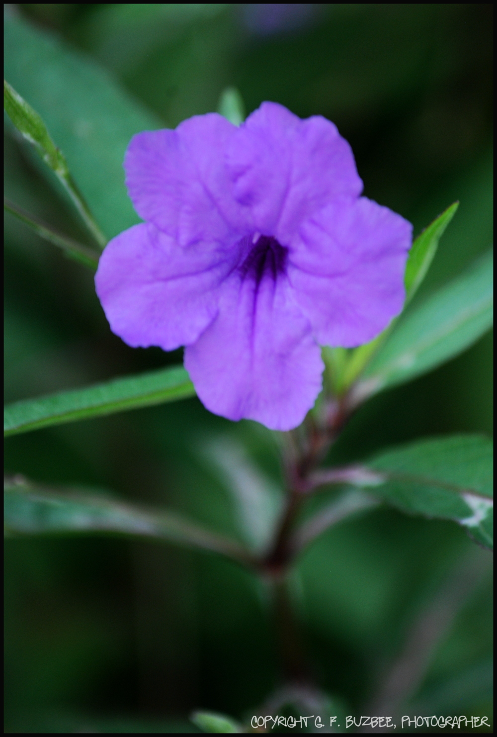 Purple mexican petunia flowers