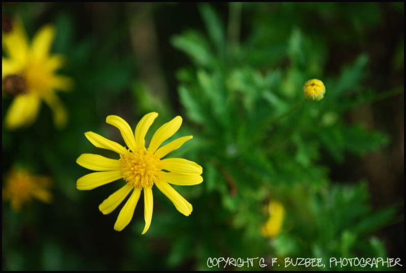 yellow bush daisy flowers